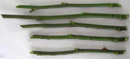 как вырастить зеленый лук дома на подоконнике из семян